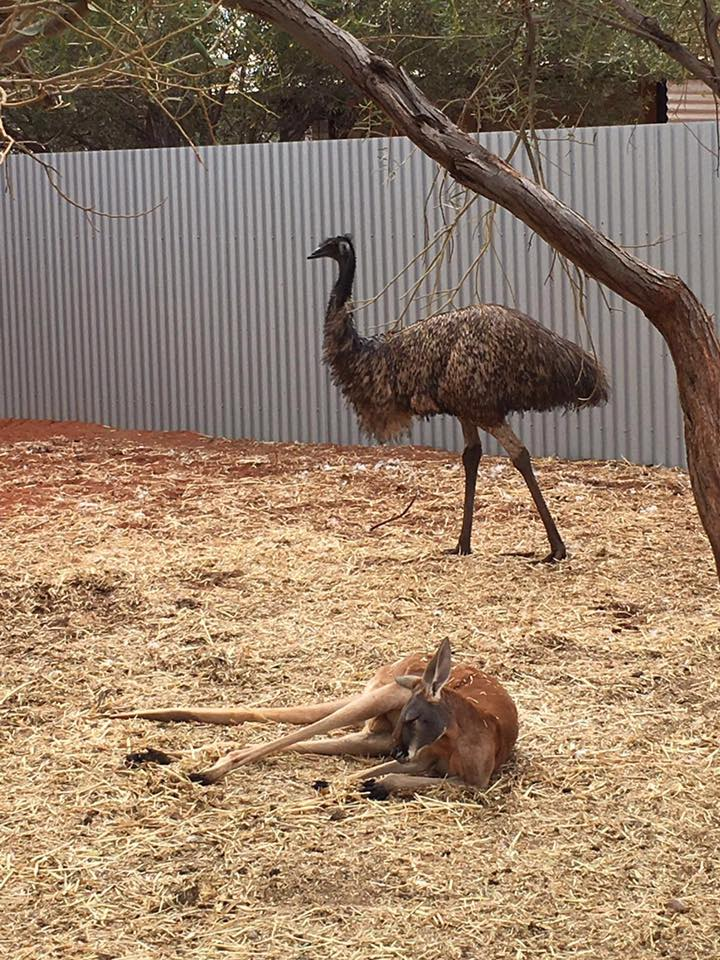 canguru emu